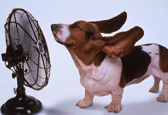 White and brown basset hound with floppy ears standing in front of a fan